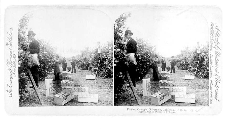 1898, orange groves, Riverside, ca in the Inland Empire