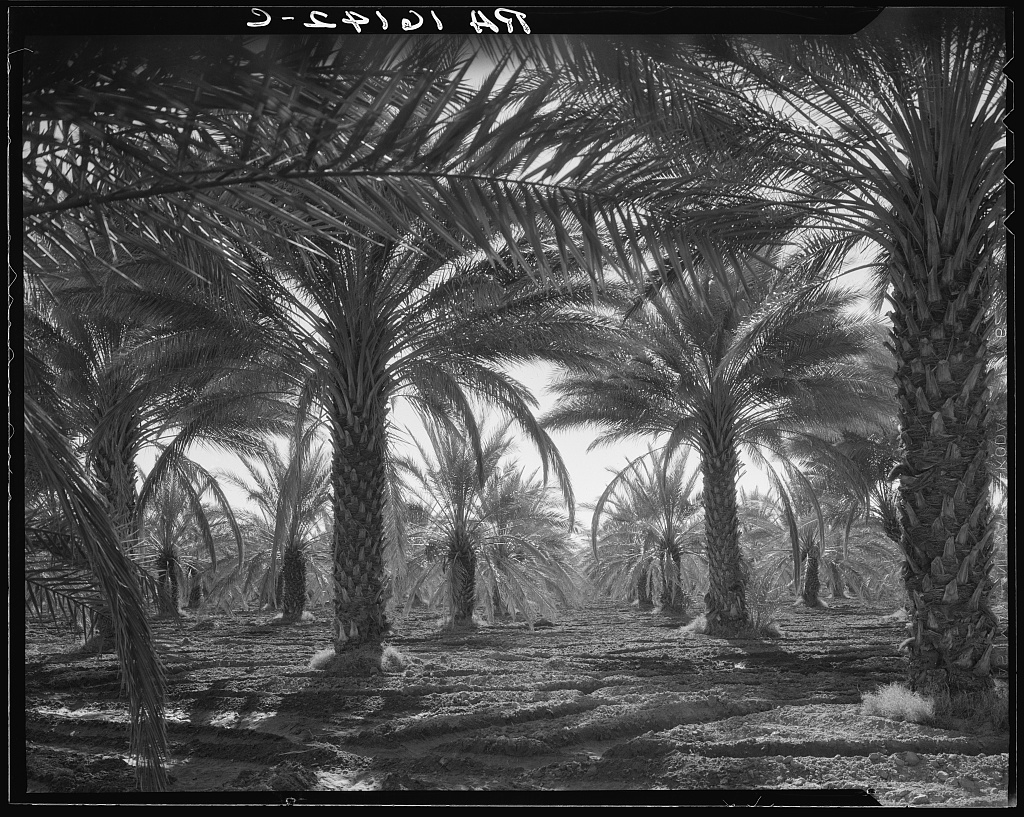 1934 date palm trees in the Coachella Valley, Ca1934 date palm trees in the Coachella Valley, Ca in the Inland Empire
